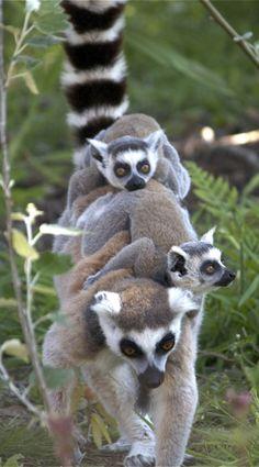 Love these animals ring-tailed lemur family. Nature Animals, Baby Animals, Funny Animals, Cute Animals, Wild Animals, Animal Babies, Primates, Mammals, Beautiful Creatures