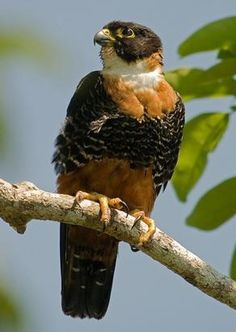 The Orange-breasted Falcon (Falco deiroleucus) is a bird of the falcon family. It is probably closely related to and looks like a larger version of the Bat Falcon. These two, in turn, are probably closest to the Aplomado Falcon and constitute a rather old American lineage of Falcos.[2] It is found from southern Mexico to northern Argentina.