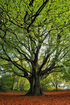Big old beech by Tim Gardner