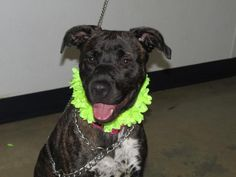Morgan - URGENT - Richland County Dog Warden in Mansfield, Ohio - ADOPT OR FOSTER - 1 year old Female Pit Bull Terrier Mix
