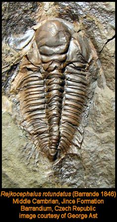 Former Trilobite of Month on Sam's site now in my collection as shown in two earlier photos Rejkocephalus rotundata Middle Cambrian  Jince Formation  Vystrkov, Czech Republic