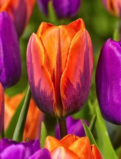 Tulip 'Princess Irene'. Orange blooms, with a purple flame up the center. Short and sturdy stems, but fragant and long lasting flowers makes this triumph variety a classic. Mid season (30 cm)