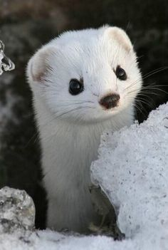 The fox has his den. The bee has his hive. The stoat, has, uh. his stoat-hole. Cute Baby Animals, Animals And Pets, Funny Animals, Animals In Snow, Otters Funny, Wild Animals, Amazing Animals, Animals Beautiful, Beautiful Boys