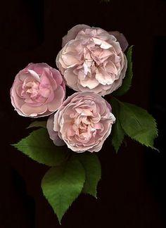 ~Bourbon Rose: Rosa 'Madame Pierre Oger' (France, 1878)~