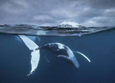 Impressive Whales Photography by Audun Rikardsen, http://happybrainy.com/audun-rikardsen-whales-photos/ Check more at http://happybrainy.com/audun-rikardsen-whales-photos/