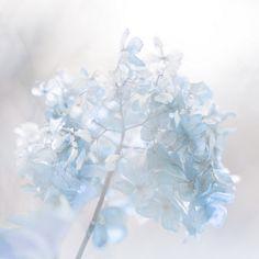 "ectasi: "" hydrangea in winter by Nishiz on Flickr. """