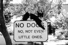 No Dogs ...not even little ones.  www.thecatdoctoronline.com