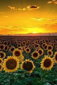 I LOVE SUN FLOWERS!