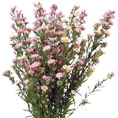 FiftyFlowers.com - Aster Flowers Light Pink - 15 bunches for $169.99