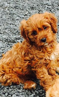 Deep red and deep apricot cavapoos | Aberystwyth, Ceredigion | Pets4Homes
