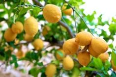How to Prune Fruit Trees the Correct Way - Garden Lovin Prune Fruit, Pruning Fruit Trees, Savory Herb, Gardens By The Bay, Fruit And Veg, Garden Landscaping, Landscaping Ideas, Outdoor Gardens, Herbs