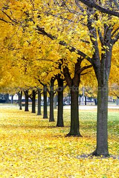 maple trees to line the property