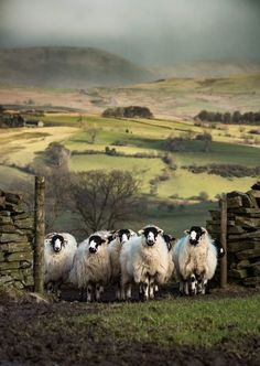 Kendal Rough Fell Hoggs. Lambrigg Fell, Cumbria, England by Mrs B