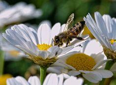 Bee by ertugrulgokcek.deviantart.com on @DeviantArt