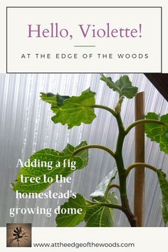 Adding a fig tree to the homestead's growing dome Fig Tree, Permaculture, Homesteading, Perennials, Herbs, Blog, Ficus, Ficus Tree, Herb