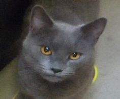 MILTON is an adoptable Chartreux Cat in Alameda, CA.