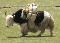 yak cows running in snow - - Image Search results Animals With Antlers, Work With Animals, Cute Animals, Yak Image, Tibet, Running In Snow, Musk Ox, Bull Cow, Animals