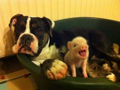 Dog really unimpressed by his piglet friend...