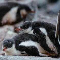 「Penguin chick dogpile!!」