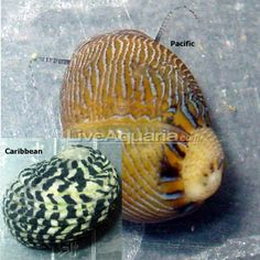 Nerite Snail (Pacific)