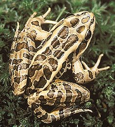 The pickerel frog, another handsome Vermont resident. As with salamanders and other amphibians, handle with care: make sure your hands are wet and remember that they will absorb sunscreen, bugspray, and other poisons through their skin.