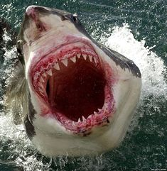 President of the Shark Trust Richard Peirce said conditions and availability of prey made British waters an ideal hunting ground for the Great White shark Shark Pictures, Shark Photos, Shark Pics, Shark Images, Big Shark, Beautiful Creatures, Animals Beautiful, Species Of Sharks, The Great White