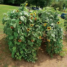 Sunflower Digs by familyfun: How to grow a sunflower house. #Sunflower_House #Kids #familyfun
