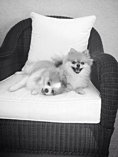 Pomeranian Love!