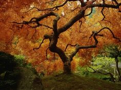 Maple Tree in Autumn - I used to love the helicopter seeds as a kid