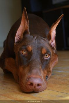 """So much like mine when she was younger. The Doberman is a challenge and a treasure.   Loyal but independent, sweet to the core but there is an occasional twinkle of """"I can take care of it Dad, just want you to know that."""""""