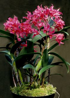 https://flic.kr/p/i2CsgD | Cattleya guatamalensis | A naturally growing hybrid of the species auriantiaca and skinneri found in Mexico, Guatemala and Nicaragua.