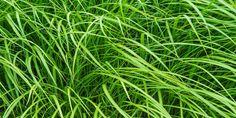 Pionir Mikrogreen Rumput Gandum dan Bunga Matahari di Indonesia. Menyediakan rumput gandum berkualitas tinggi. HP : 087782036100