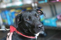 Rebel Age : 1 years Breed : Lab X Location: Edmonton Intake: September 2013 September 2013, Animal Rescue, Rebel, Labrador Retriever, Age, Animals, Labrador Retrievers, Animais, Animales