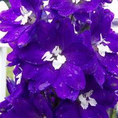 Beautiful Flowers Garden, Amazing Flowers, Pretty Flowers, Plant Pests, Invasive Plants, Larkspur Plant, Flowers That Attract Hummingbirds, Pink Geranium, Butterfly Plants