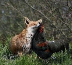Fox and rooster... OK, the only  explanation is that they grew up together... Or rather that the (young) fox is growing up hanging out with the rooster. Maybe the  rooster is the official greeter and animul caretaker at a rescue? <3 Curious minds are intrigued...