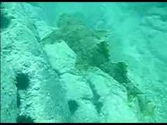 Video-Swimming with Wobbegong Shark at Montague Island, NSW, via YouTube.