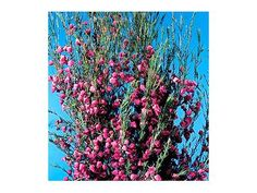 Boronia heterophylla, hot pink bells are intensely, pungently, herbally fragrant. A little bit really provides the color jolt needed to create vibrancy. Beautiful Flowers, Spring Wildflowers, Evergreen Shrubs, Flower Names, Floral, Flowers, All Plants, Edible Plants, Sweet Smelling Flowers