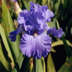 Purple bearded Iris My favorite flower