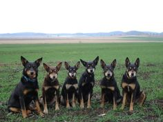 The Kelpie cattle dogs ready for work. Beautiful Dogs, Animals Beautiful, Cute Animals, Australian Dog Breeds, Hound Puppies, Working Dogs, Four Legged, Dog Life, I Love Dogs