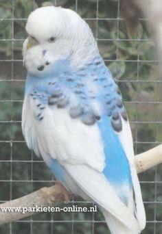 Wellensittiche www. All Birds, Cute Birds, Pretty Birds, Little Birds, Beautiful Birds, Animals Beautiful, N Animals, Cute Animals, Baby Budgies