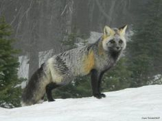 This cascade red fox was spotted over the weekend at Mount Rainier National Park, sporting a unique coat. The mixed charcoal and reddish coloration is typical of the red fox population in the park.