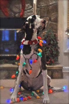 """I'm big enough to be the tree!"" #dogs #pets #HarlequinGreatDanes Facebook.com/sodoggonefunny"
