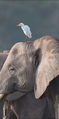 Elephant and friend