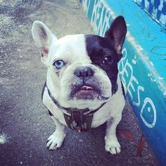 This one's for my gurrl, @anetmg. Just thinkin' bout you thinkin' bout me. Tron the French Bulldog, @tronthedog on instagram
