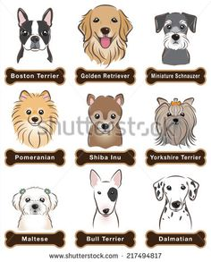 Schnauzer Stock Photos, Images, & Pictures | Shutterstock