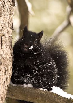 I want a black squirrel in my yard but I've never had one.