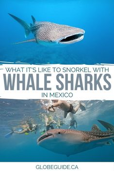 Swimming with whale sharks in Mexico is an unforgettable adventure, and you might even spot flamingos, dolphins, turtles and crocodiles along the way.  Mexico travel | Holbox island Mexico | Holbox Mexico