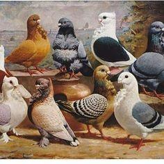 Consulta esta foto de Instagram de @maher.breeding • 36 Me gusta Birds 2, Pet Birds, Beautiful Birds, Animals Beautiful, Poultry Breeds, Pigeon Pictures, Pigeon Breeds, Dove Pigeon, Mail Art
