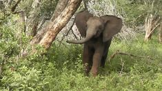Watch this little baby Elephant trying to intimidate us with a little aggressive attitude. It is so funny how little elephants react sometime when visitors g. Little Elephant, Baby Elephant, Kruger National Park, National Parks, Little Babies, Elephants, South Africa, Words, Funny