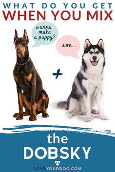 Doberman Mix, Doberman Pinscher, Husky Breeds, Dog Breeds, Mixed Breed Puppies, Siberian Husky Mix, Cute Puppies, Adorable Dogs, Daisy Dog